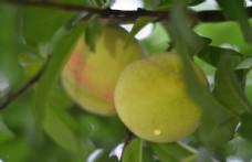 黄桃高清实拍图片