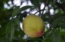 黄桃树下实拍图片