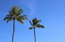 海边的椰子树图片