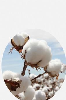 洁白的棉花图片