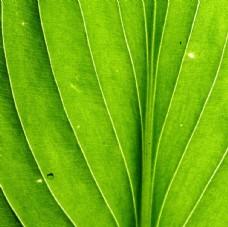 微距叶脉绿色植物图片