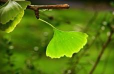 银杏树叶图片