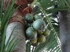 椰树椰子图片