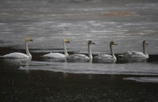 冰上游泳的白天鹅图片