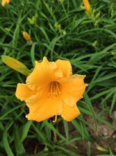 黄色的花图片