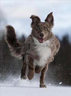 雪地中奔跑的狗图片