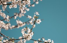 白色花朵树枝天空风景图片