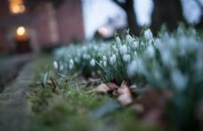 雪滴花图片
