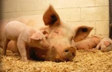 母猪和小猪图片